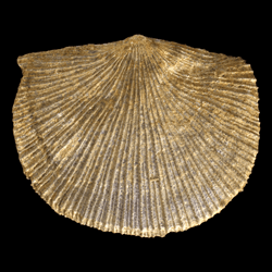 Brachiopoda Articulata